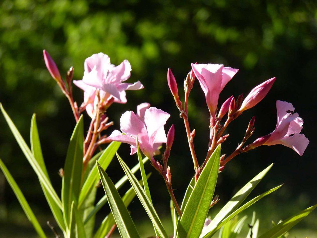 Laurier rose dans le jardin